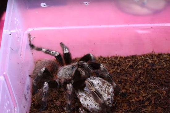Nascimento de aranhas Tarântulas