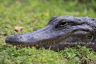 Everglades National Park smiling Alligator