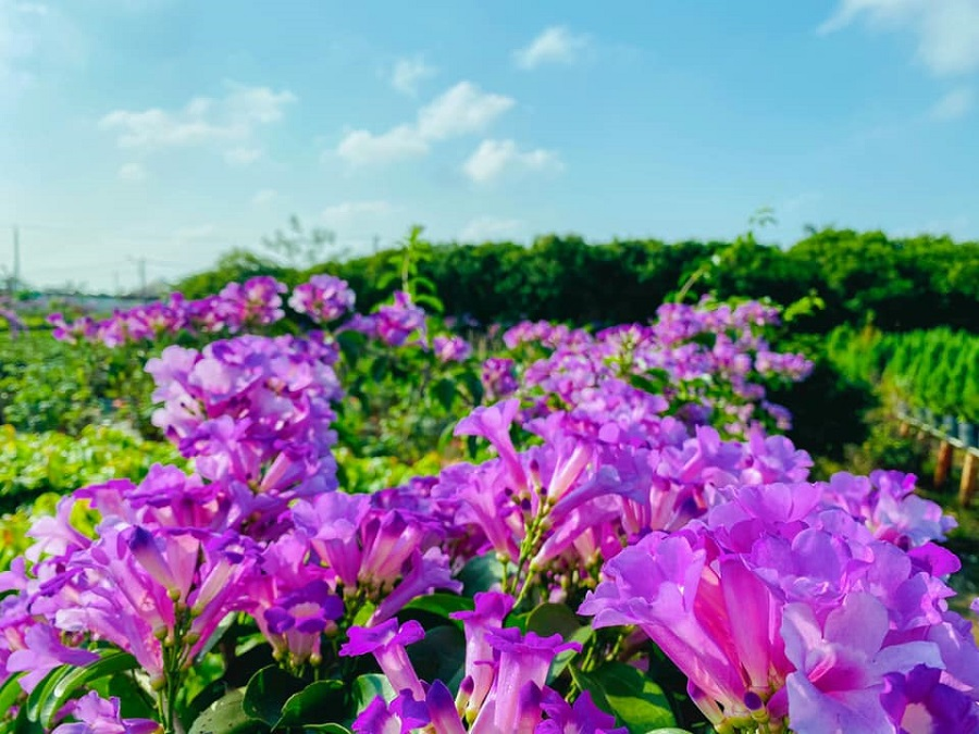Vườn hoa Lan Tỏi Tím tại Làng Hoa Sa Đéc 3