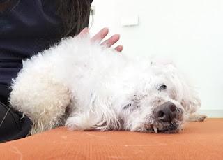 cães lesionados