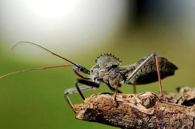 حشرة الرديوفيد
