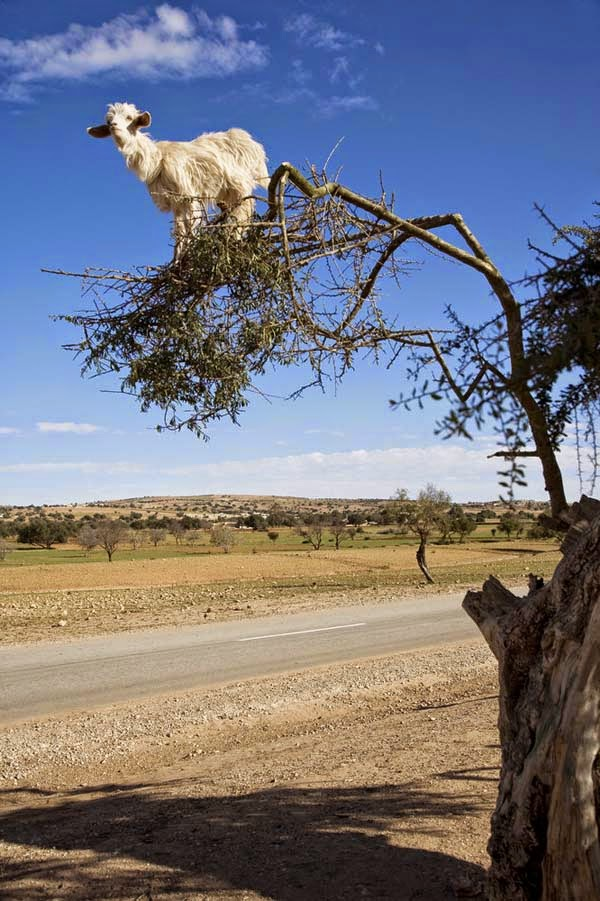 They climb the Argan trees in search of food. - Imagine Driving Down The Road And Seeing THIS In The Trees. Seriously, This Is Crazy.