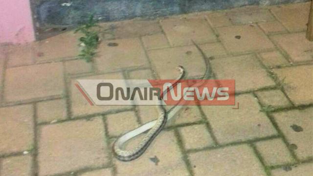 Φίδι σκόρπισε τον τρόμο σε κεντρικό πεζόδρομο του Μεσολογγίου