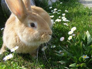 Peach coloured indoor rabbit exploring outside in a garden