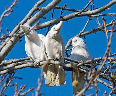 Bare-Eyed Cockatoos