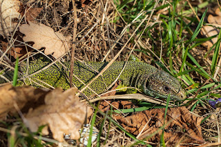 [Lacertidae] Lacerta bilineata – Western Green Lizard
