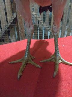 Gambar kaki Ayam Betina Mangon original