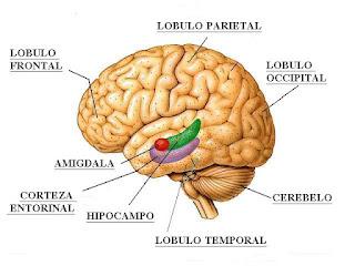 Les presento la famosa amígdala, es la sección coloreada de rojo