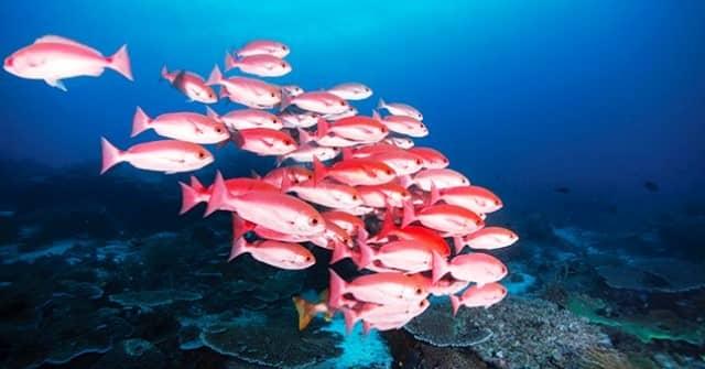 Ikan Kakap Merah bersifat bergerombol