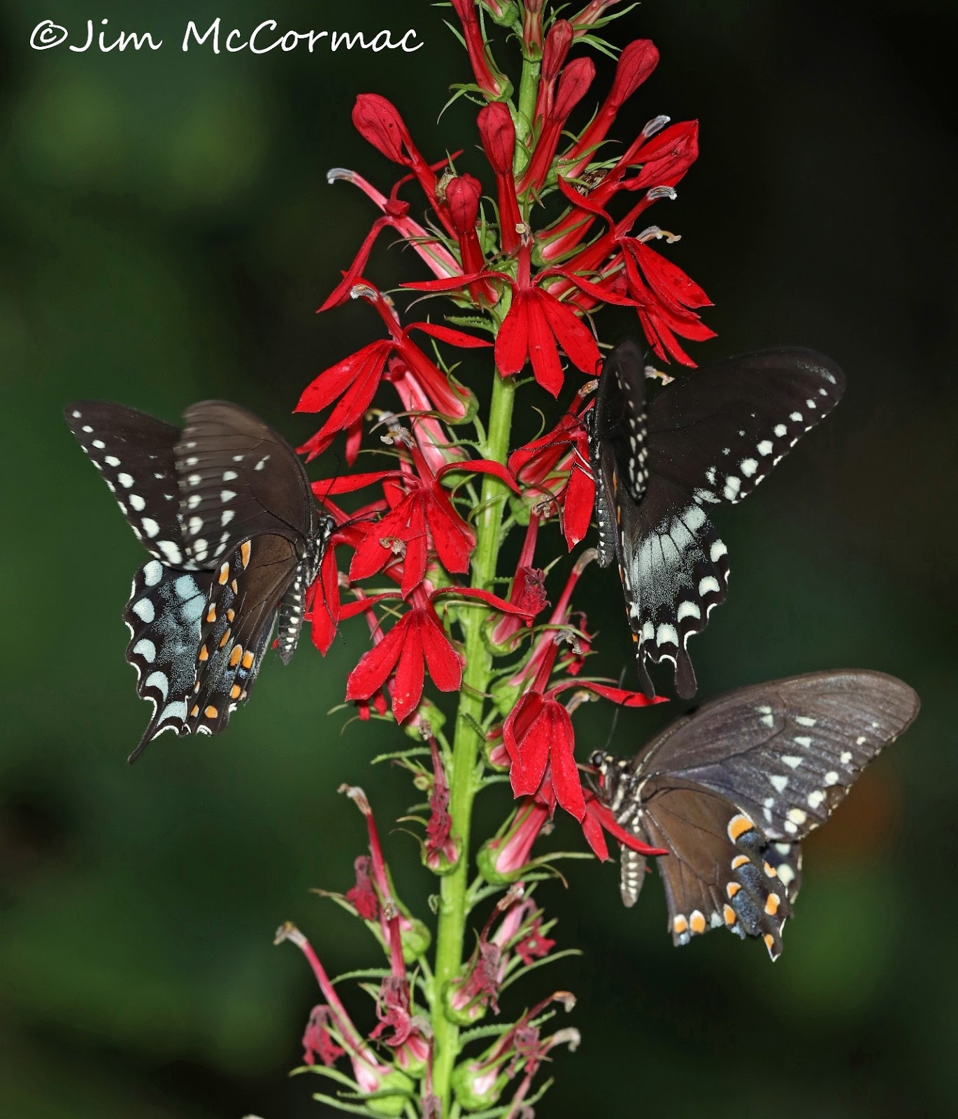 Cardinal Flower Rare In White And Pollinating Swallowtails