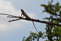 Eidechse - lizard
