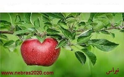 قصة ثابت بن النعمان والتفاحة