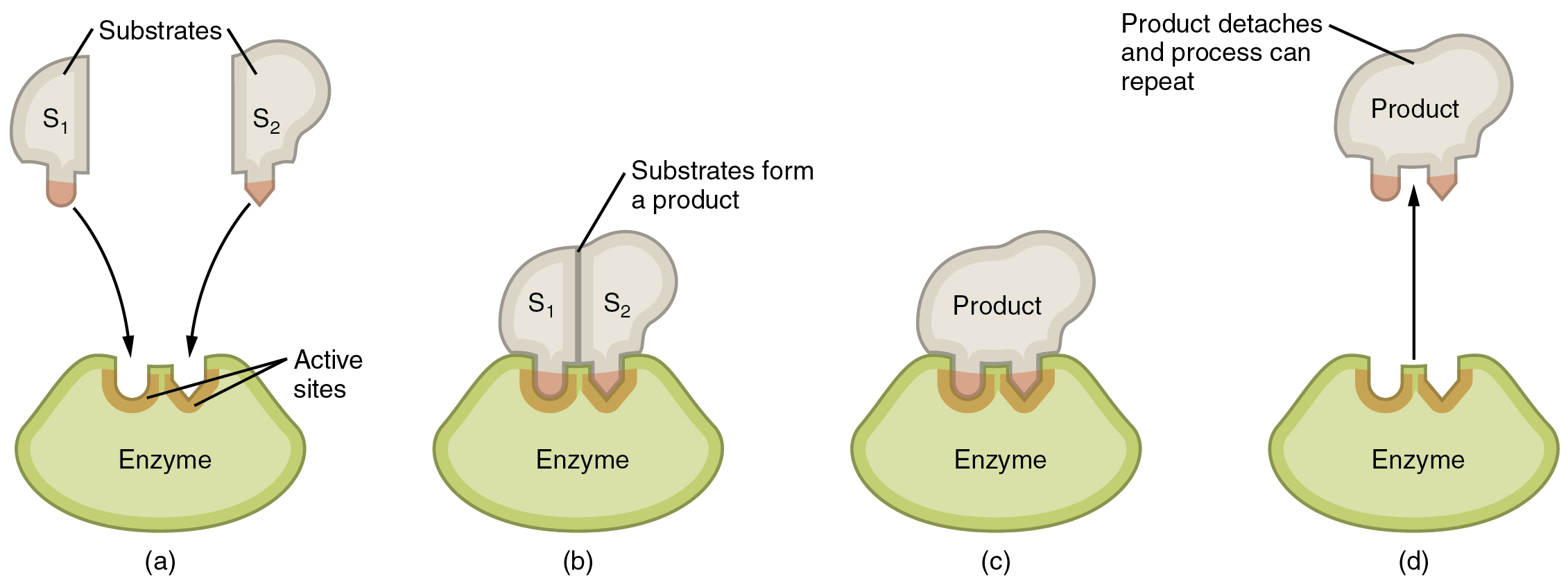 Component of Enzyme Action