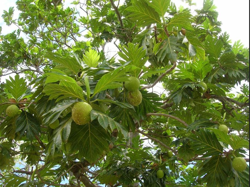 Gambar pohon sukun
