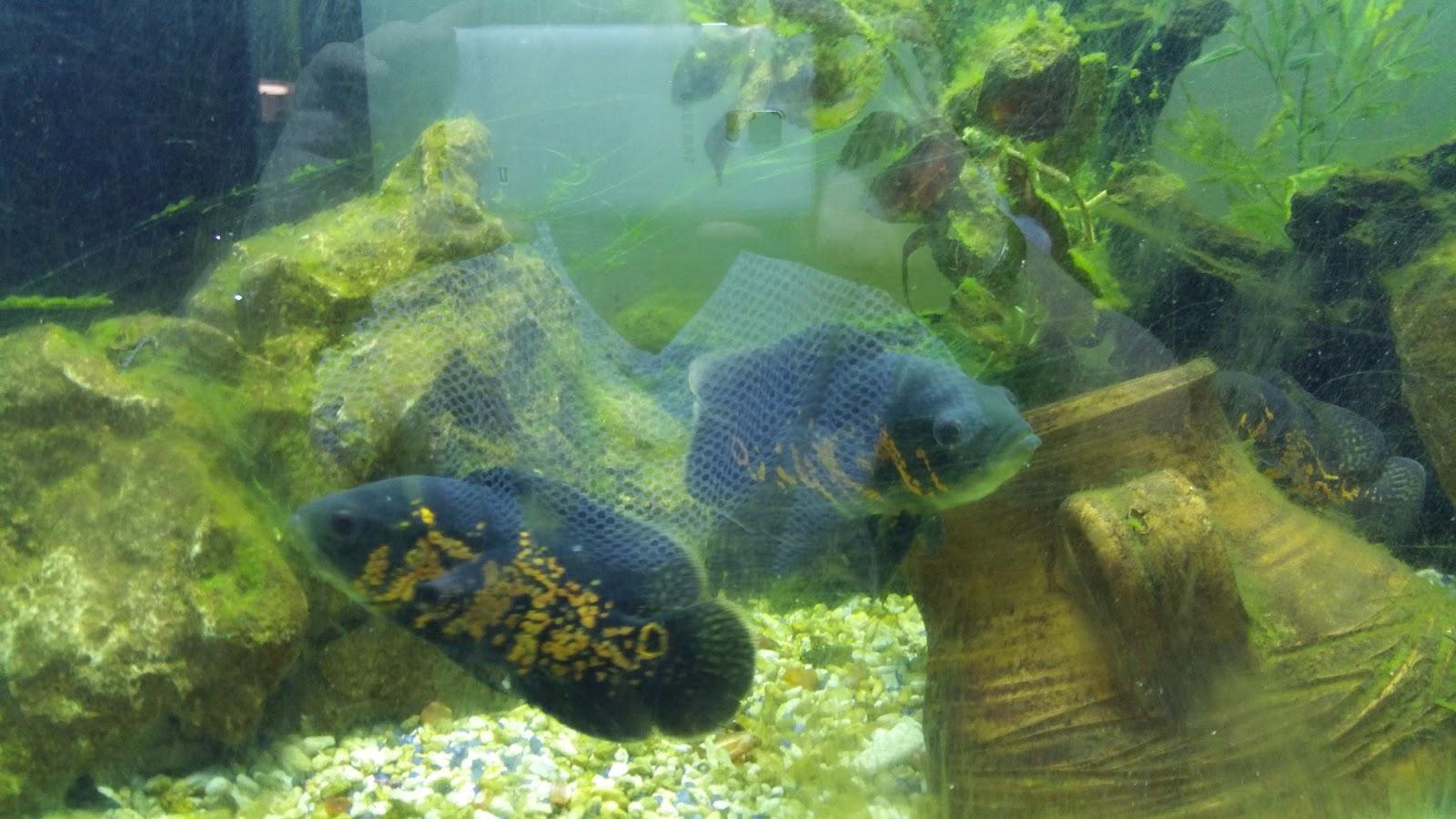 Pirana aquarium pesci tropicali d 39 acqua dolce i ciclidi for Pesci acqua dolce commestibili