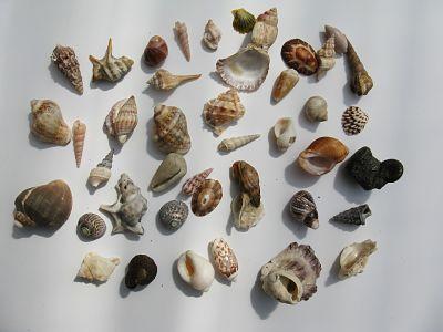 Caracolas y conchas marinas