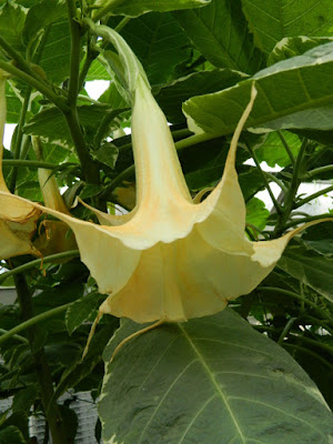Angel's Trumpet Brugmansia at the Allan Gardens Conservatory by garden muses-not another Toronto gardening blog
