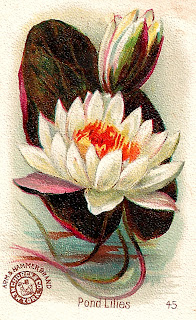 pond lilies image print artwork antique illustration clipart