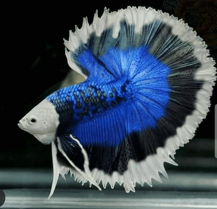 Cara Menyilangkan Warna Ikan Cupang Kualitas Unggul Cupang Sehat