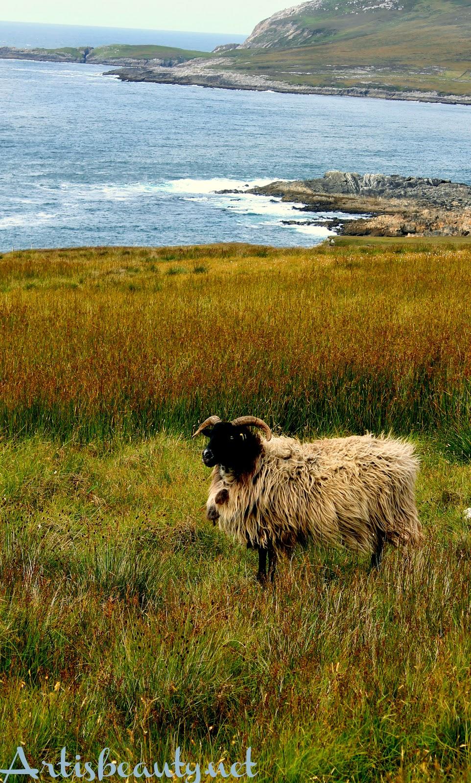 vacation self drive sheep wild animals wild atlantic way coastal drive ireland