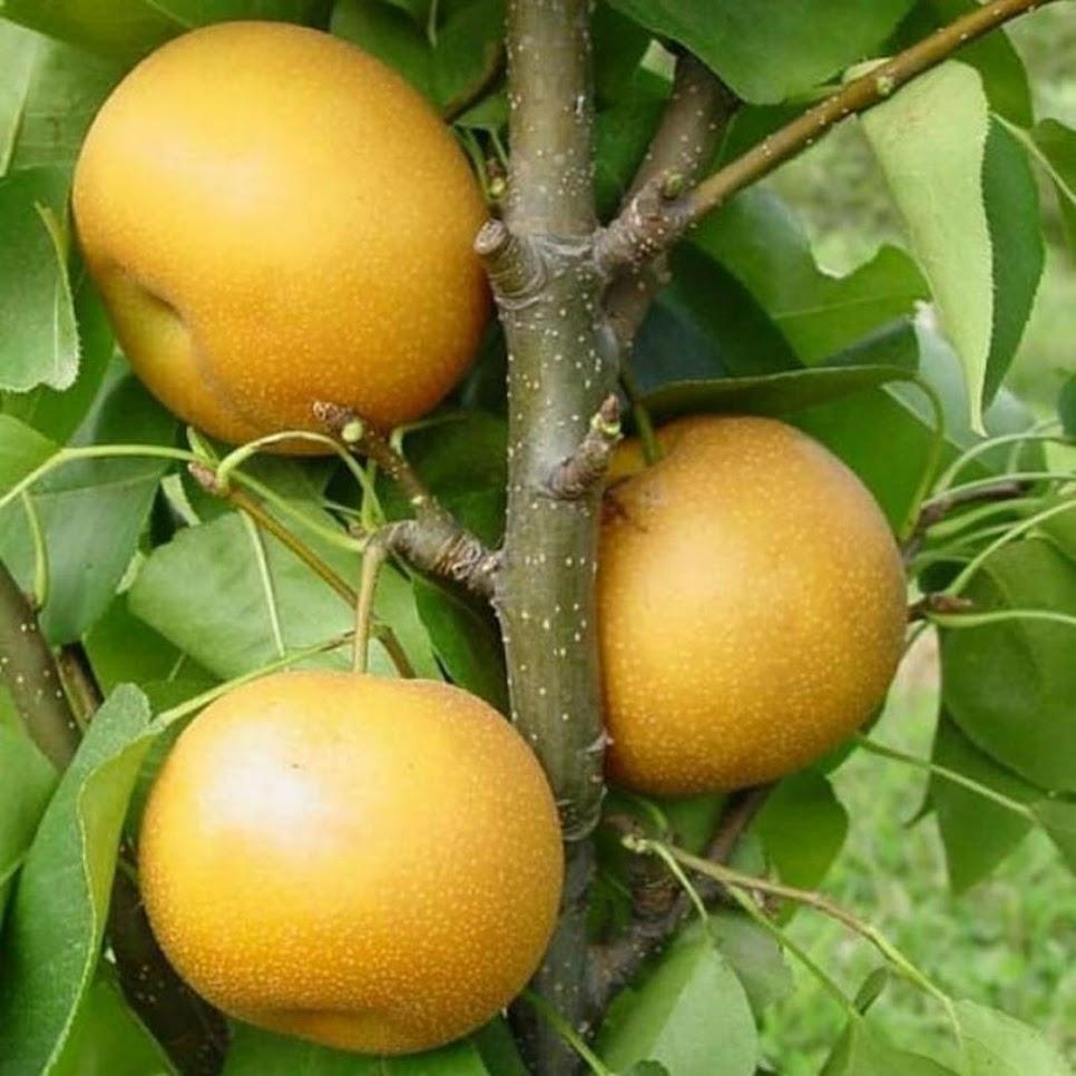 bibit pir golden tanaman buah pir golden pohon buah pir golden Lubuklinggau