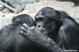 According to a New Research, Chimps Uses 'Hi' and 'Bye' Greetings, Just Like Humans