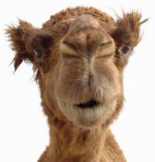 Image result for soon camel funny