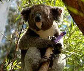 coala com moca ganzado rir divertido email fumar selva