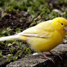 Racikan Ubi Jalar Dan Wortel Sebagai Pakan Burung Kenari