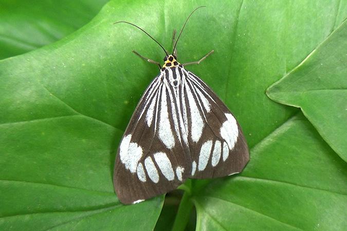 Dlium Marbled white moth (Nyctemera coleta)