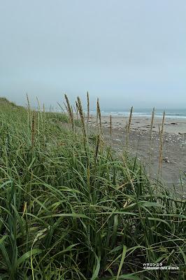 ハマニンニク ≪American dune grass≫