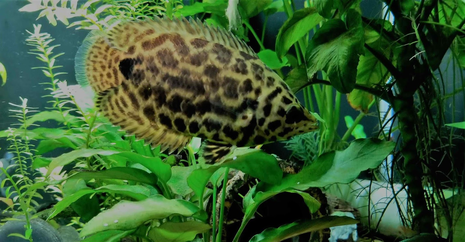 African Leaf Fish Care Guide And Tips For Beginners