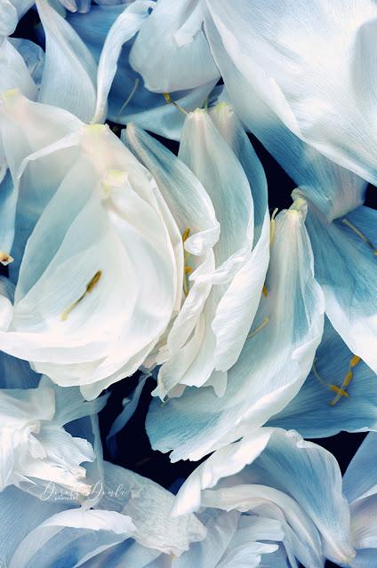 peony leaves, Dorothe Domke, Fotoart, photoart, petals, peony, Pfingstrose, makro, macro, Arnsberg