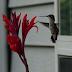 Hummingbird with canna lily