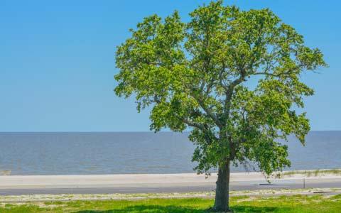 American elm tree or ulmus americana