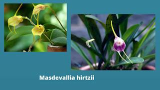 MASDEVALLIA HIRTZII ORCHID PLANT