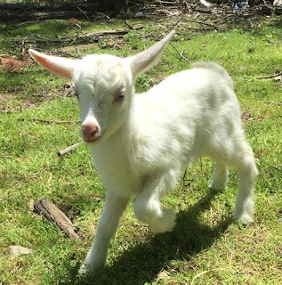 Saanen goats, new baby goat, goats on the homestead, new goat, springtime births,