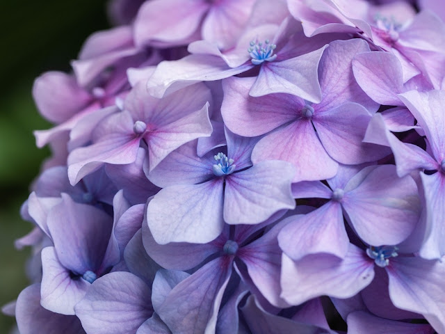 Floración de hortensia