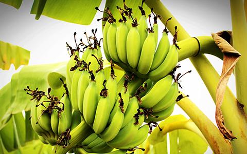 Dwarf indoor banana tree musa acuminata