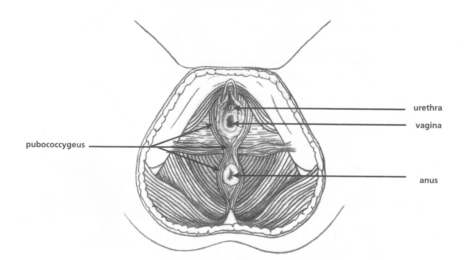 A cross section of the pelvic floor muscles
