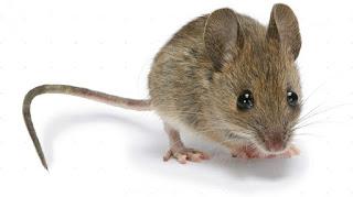 تفسير مشاهدة الفئران في المنام
