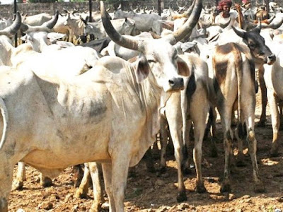 Over 100 cows dead in gaushala in Vijayawada