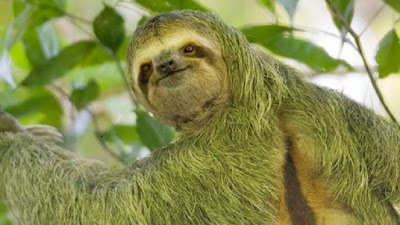 green fungus grows on this sloth's fur