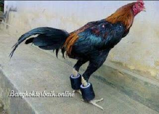 Cara sederhana meningkatkan otot dan stamina ayam petarung