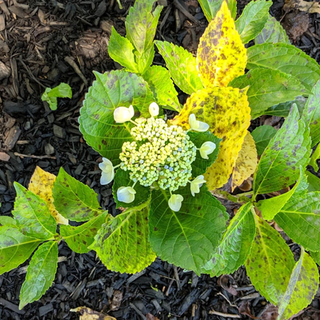 image of a budding bloom on a hydrangea