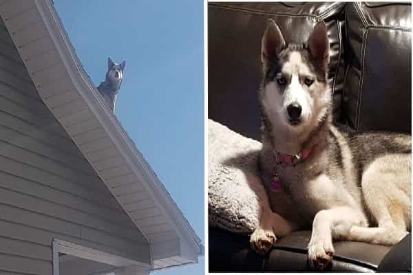 Law Enforcement Officer Offers Person A Phone Call To Allow Him Know His Husky Is Socializing On The Roofing system