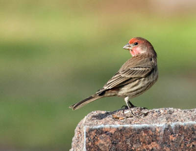 Photo of Male House Finch on marble headstone