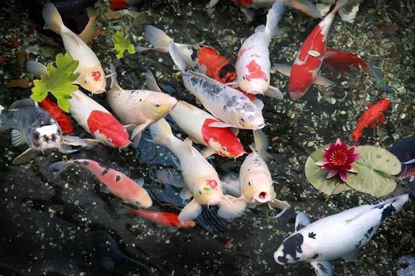 Perbedaan Ikan Mas dan ikan Koi