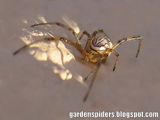 Spiders in the Garden: White and Brown Western Widow Spider