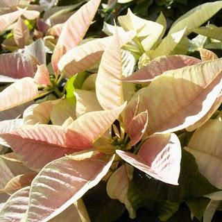 poinsettia,how to grow poinsettia,poinsettia plant care,poinsettia care,how to grow poinsettia plant,how to care poinsettia plant,how to,how to save poinsettia plant for next year,plant care,how to care poinsettia,plants,how to take care of a poinsettia,poinsettia plant,poinsettias,how to grow poinsettias for christmas,care n propagation of poinsettia plants,flower care for poinsttias,plant